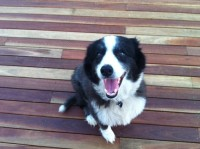 Malachi the Border Collie- An Unusal Appetite