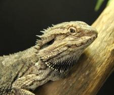 Maxi The Eastern (Coastal) Bearded Dragon- A Sore Elbow