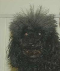 Isabella -The Toy Poodle With A Very Sore Back