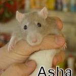 rat asha
