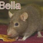 rat bella