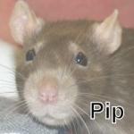 rat pip