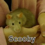 rat scooby