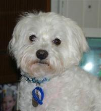 Sammie – The Maltese With Fishy Breath